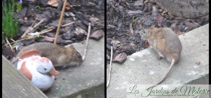 Un rat! Tu l'auras!