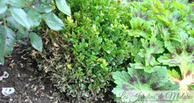 Maladie du buis: Volutella buxi