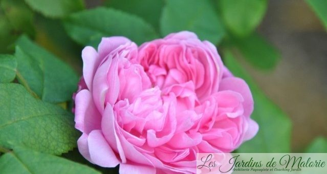 Rosier 'Jacques Cartier', une belle rose ancienne