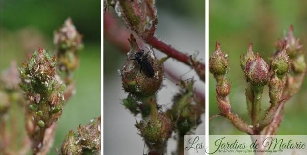 Avant/Après: l'efficacité des larves de coccinelles pour éliminer les pucerons