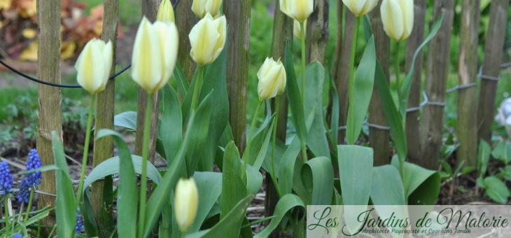 🌷 Les tulipes
