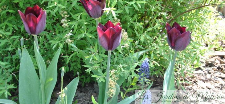Les tulipes horticoles