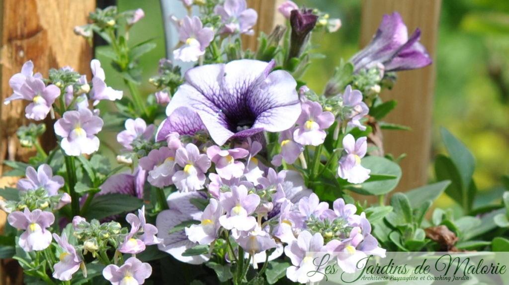 potée fleurie, nemesia et pétunia