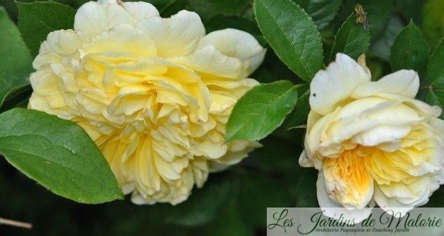 Chroniques de mon jardin : Roses