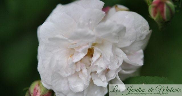 Chroniques de mon jardin : Roses du jour