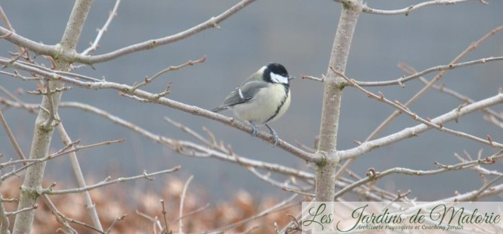 Oiseaux du jardin: les mésanges charbonnières