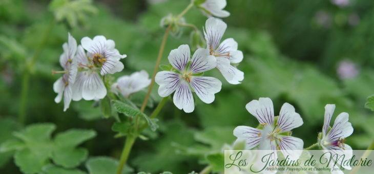Géranium renardii