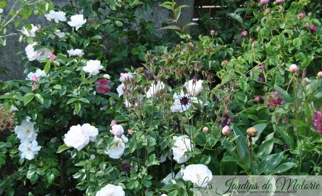 rosa 'Pearl Drift