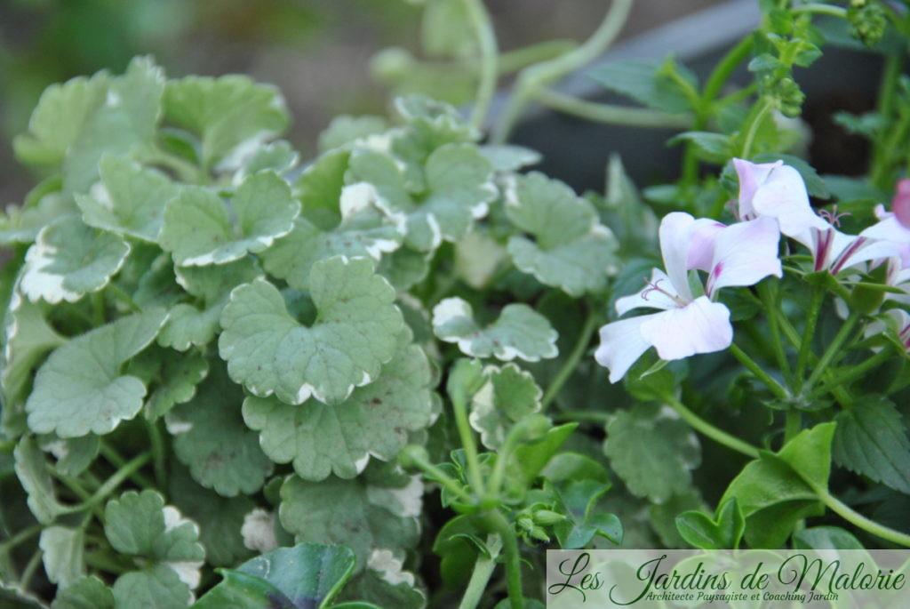glecoma variegata et pelargonium