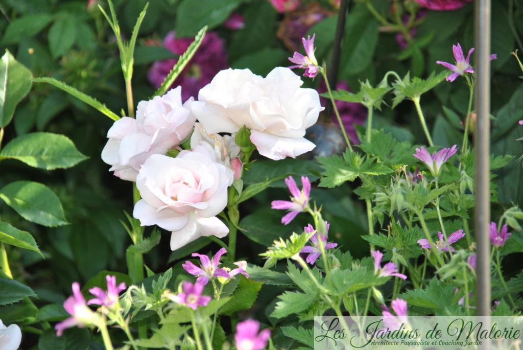 rosa 'Pearl Drift' et géranium thurstonianum