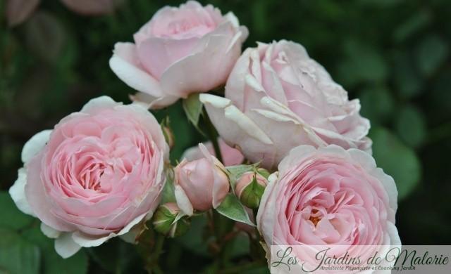 rosa 'Geoff Hamilton',