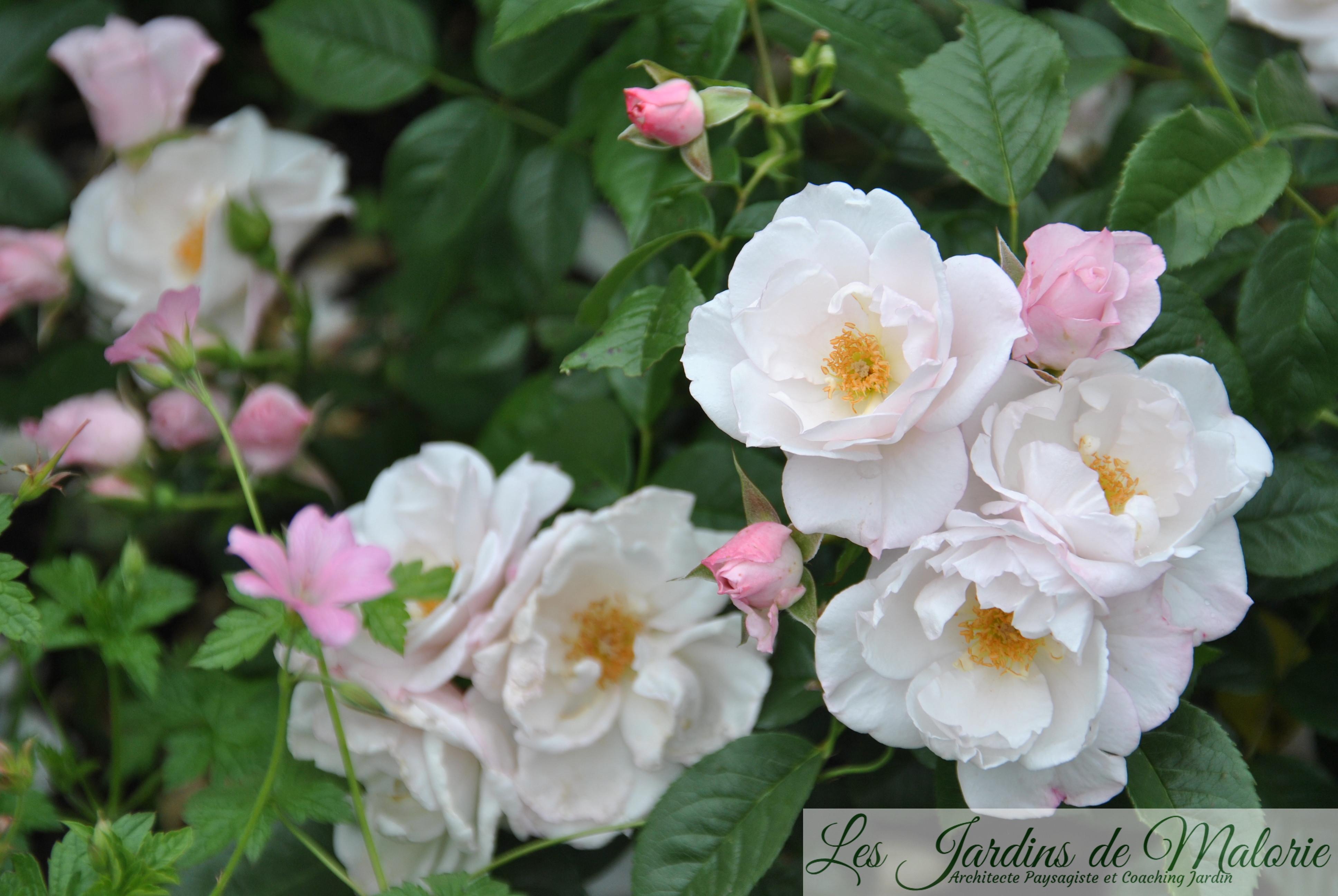 rosier 'Pearl Drift' et géranium endressii