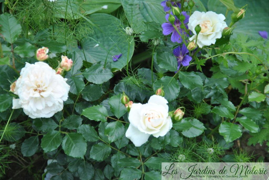 rosier 'Petticoat'