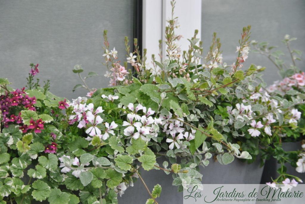jardinière d'été, fin juin, glechoma variegata, nemesia Nuvo 'Carmine', helichrysum petiolare, pelargonium, gaura