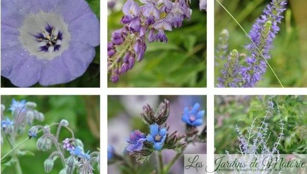 Fleurs bleues de juillet