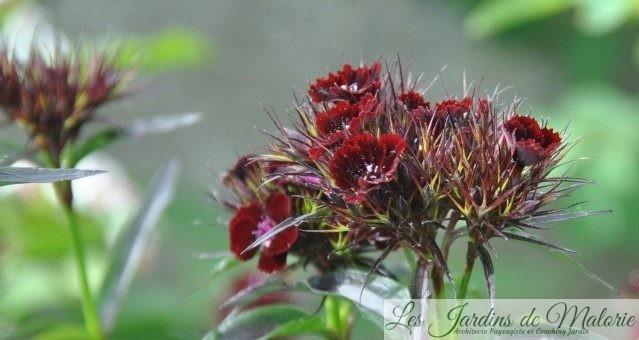 oeillet barbu, Dianthus barbatus 'Sooty'