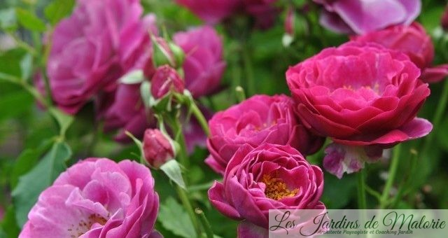 Focus sur le rosier 'Blue Eden'