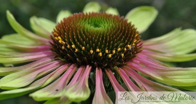 Chroniques de mon jardin : Fleurs de juillet