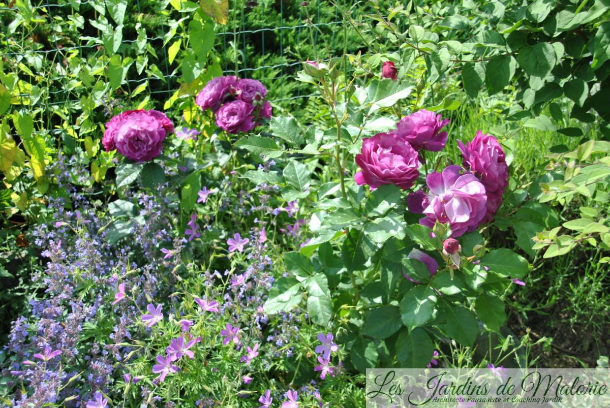 Géranium Nimbus, nepeta et rosier 'Blue Eden'