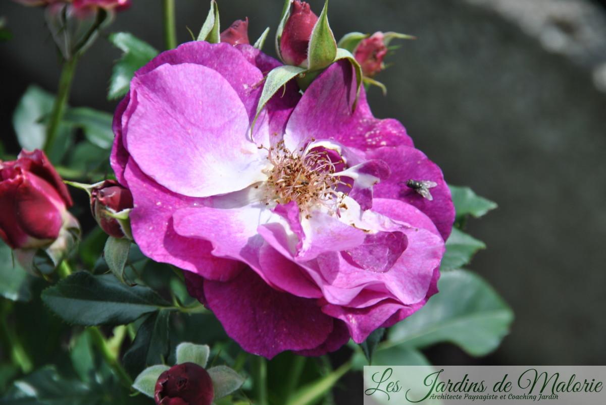 rosa 'Blue Eden' (fanaison)