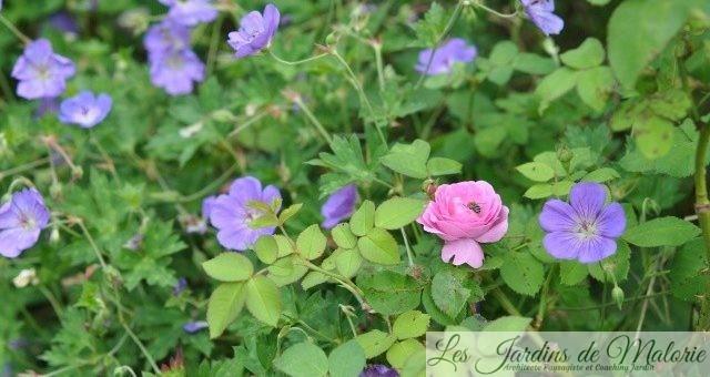 Chroniques de mon jardin : Fleurs d'août