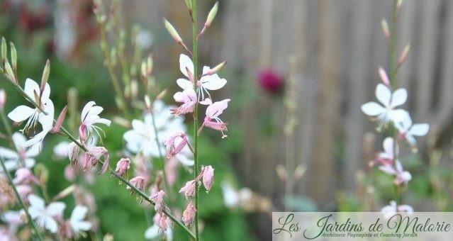 Chroniques de mon jardin : Fleurs de septembre (2)