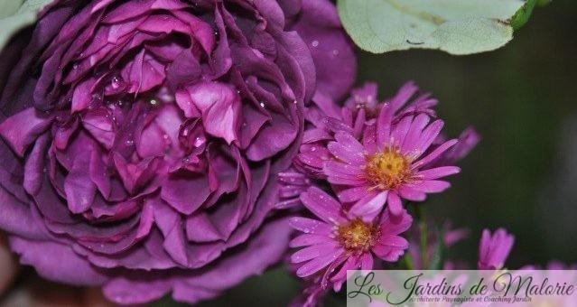 Joli Duo: rosa 'Reine des Violettes' et aster 'Lisette'