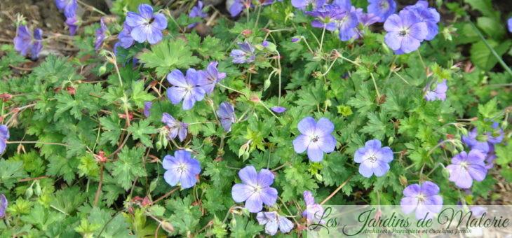 Géranium 'Johnson Blue'