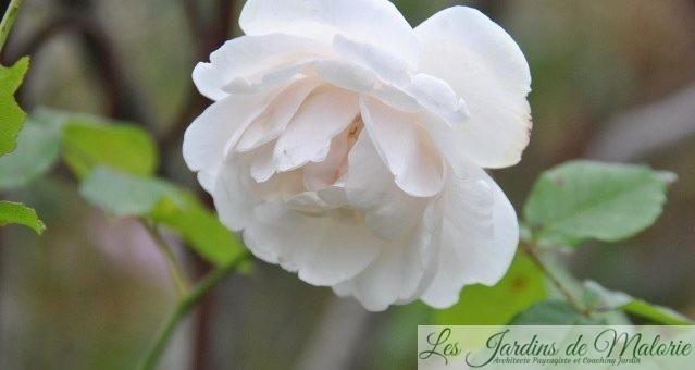 Les rosiers remontants du jardin: Les médailles d'Argent (1)