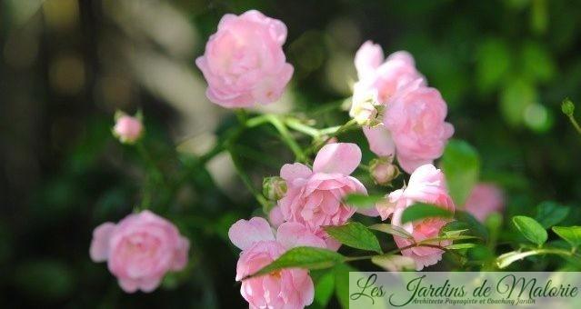 Les rosiers remontants du jardin : les médailles d'argent (2)