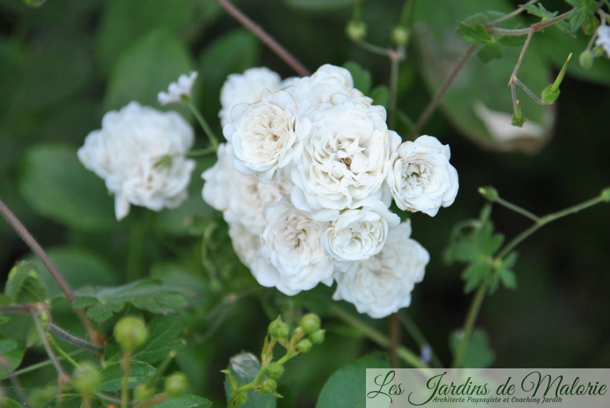 rosier 'The Fairy white'