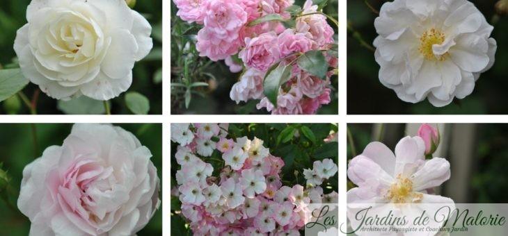 Chroniques de mon jardin: La liste de mes rosiers mise à jour