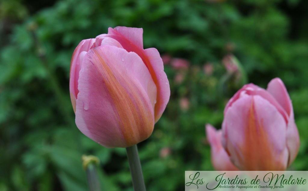 Tulipa Triumph 'Peace Flame'