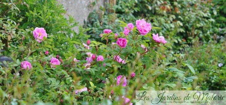 Chroniques de mon jardin: Roses de Mai
