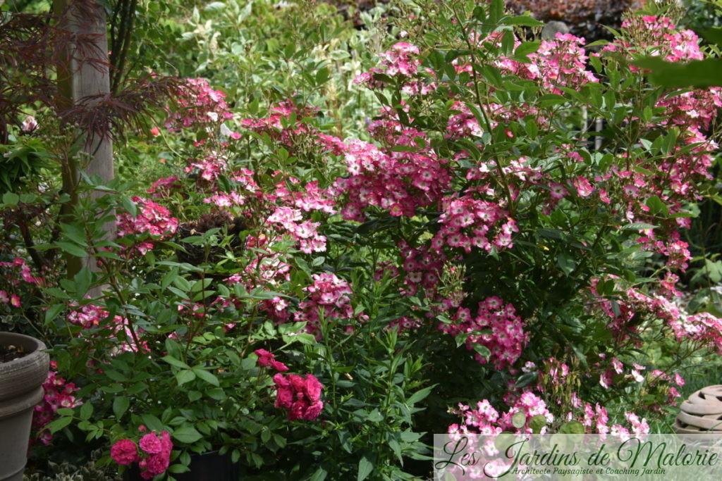 rosier 'Dinky' (en bas à gauche' et rosier 'Mozart' (en juin)