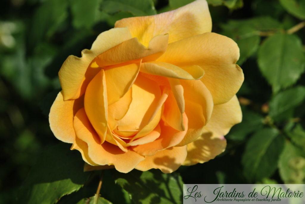 rosier 'Golden célébration'