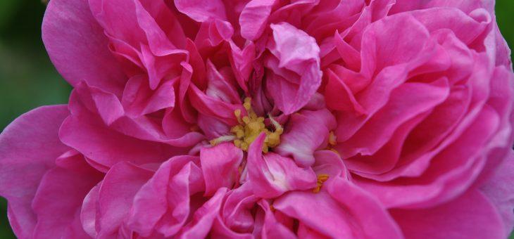 ❤ Focus sur le rosier 'Zoé', un mousseux méconnu