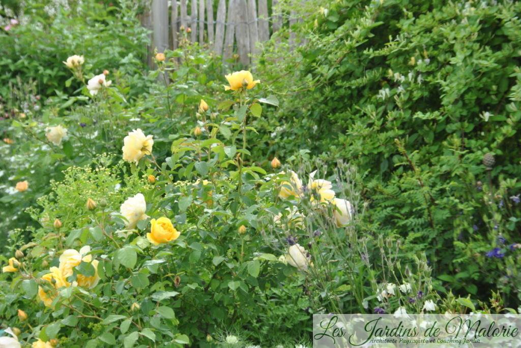 massif jaune avec le rosier 'Graham Thomas' et le chèvrefeuille