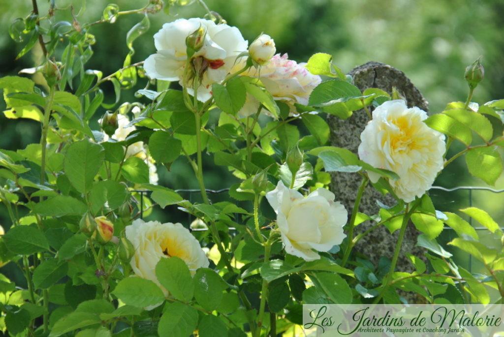 rosier 'The Pilgrim'