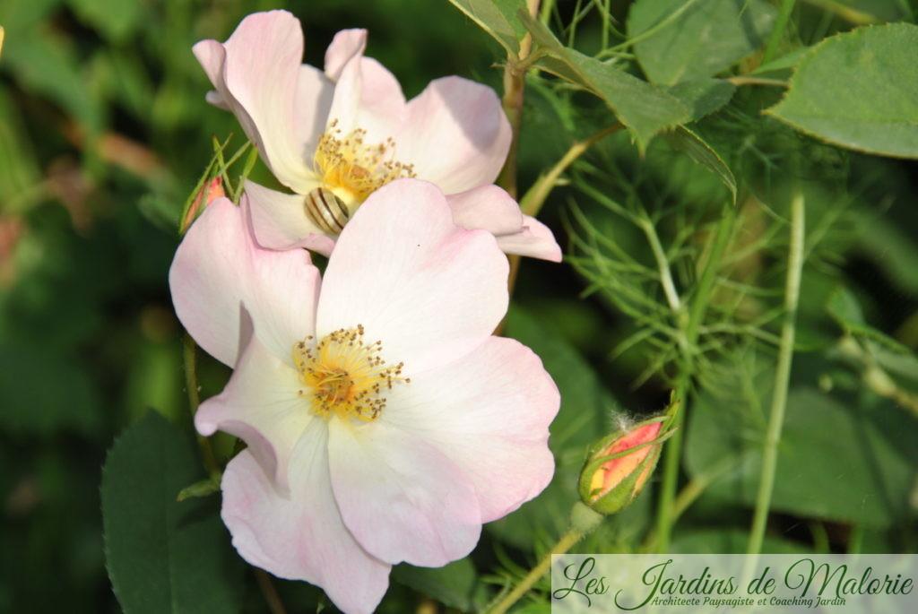 rosier 'The Alexandra rose'