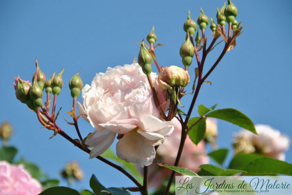 rosier 'The Generous Gardener'