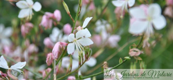 Gaura: un tourbillon de petits papillons