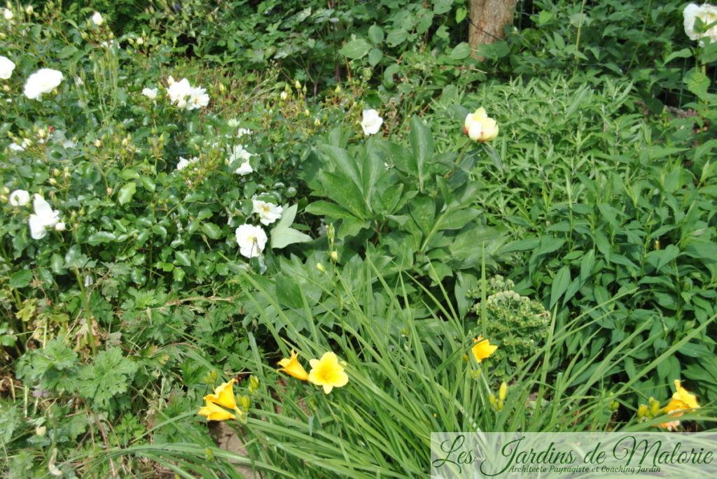 Pivoine 'Garden Treasure', hémérocalle 'Stella de Oro', rosier 'Opalia'