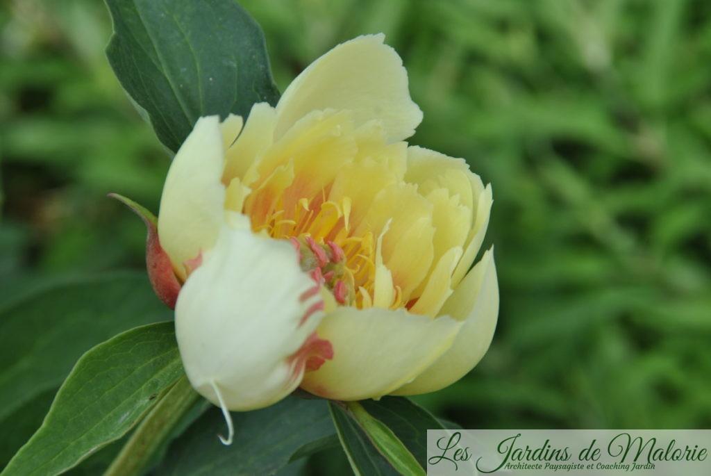 Pivoine 'Garden Treasure'