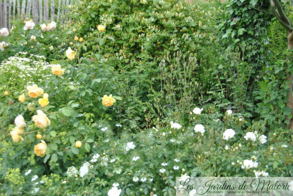 rosiers 'Graham Thomas' et 'Opalia'