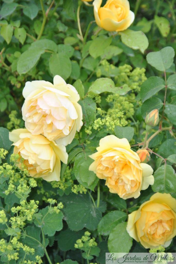 rosier 'Graham Thomas' et alchemilla mollis dans le massif jaune