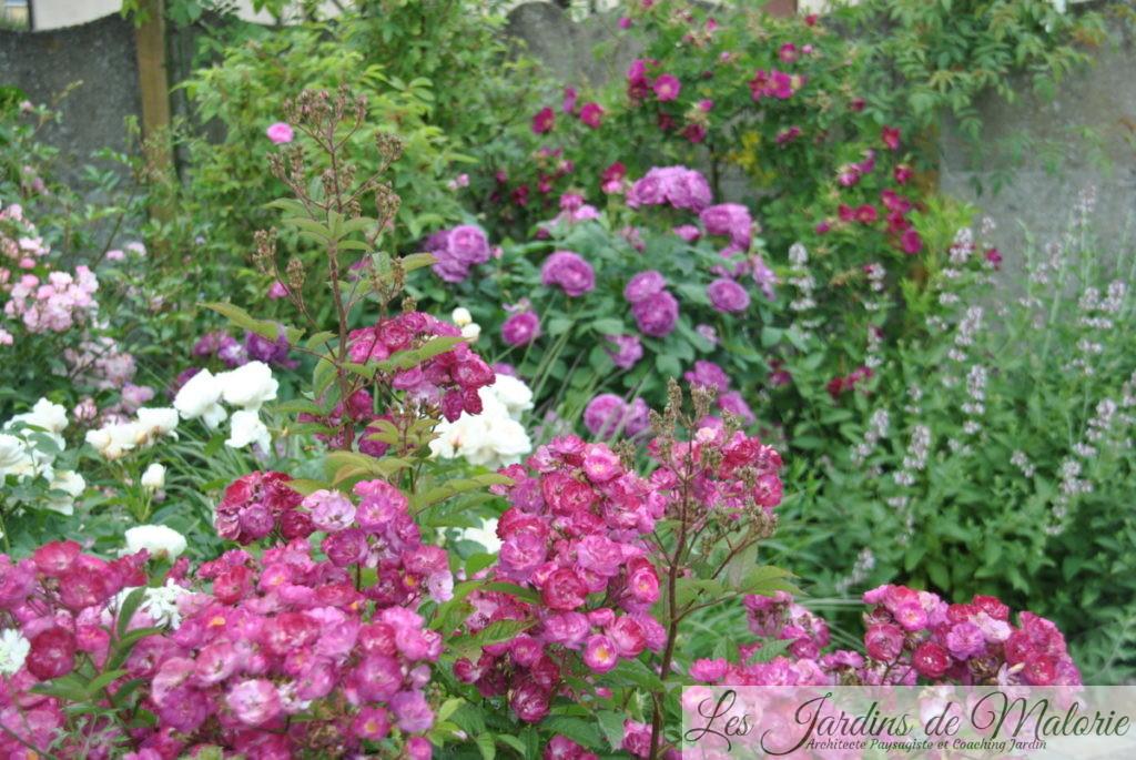 rosiers 'Sibelius', 'William et Catherine', 'Reine des violettes' et 'Ann Endt'
