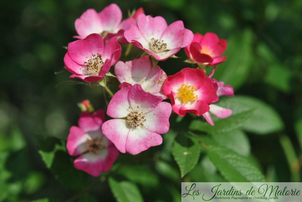 rosier 'Mozart'
