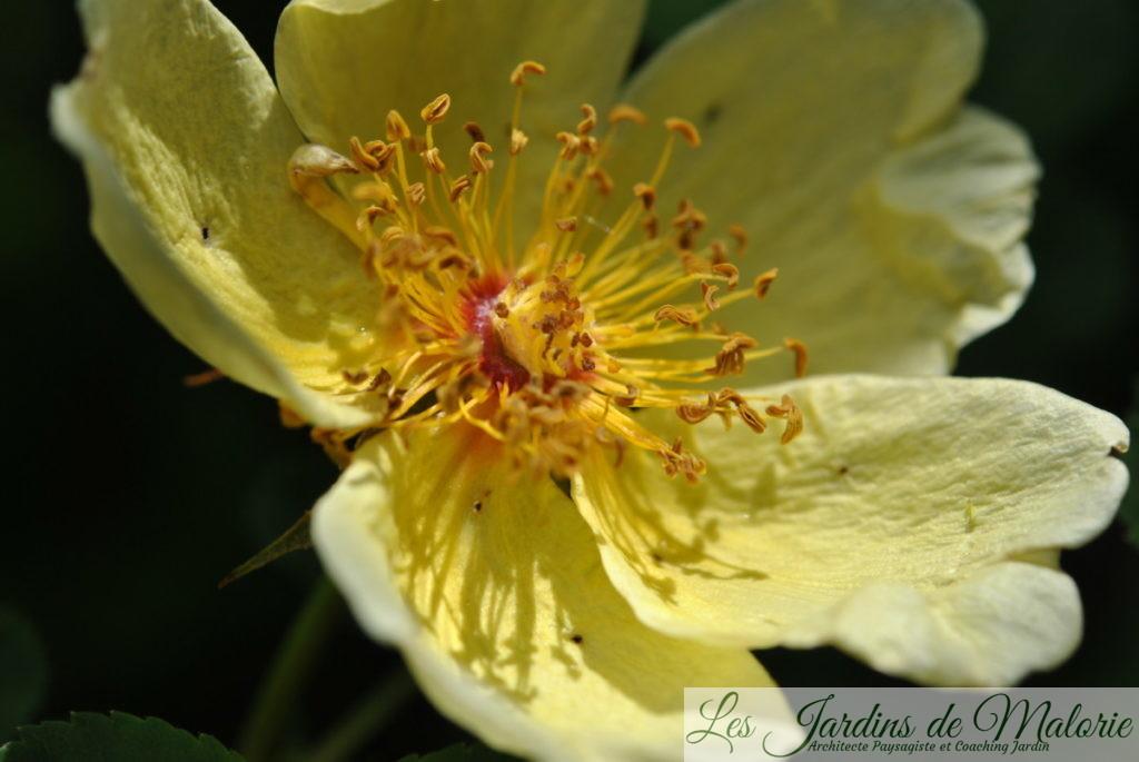 rosa 'Hugonis'