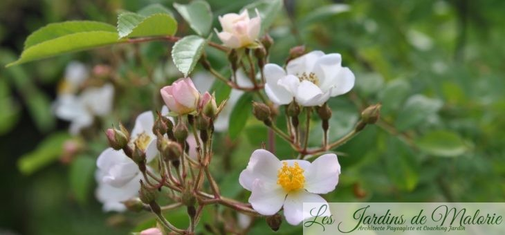 ❤ Focus sur un semis spontané de rosier liane